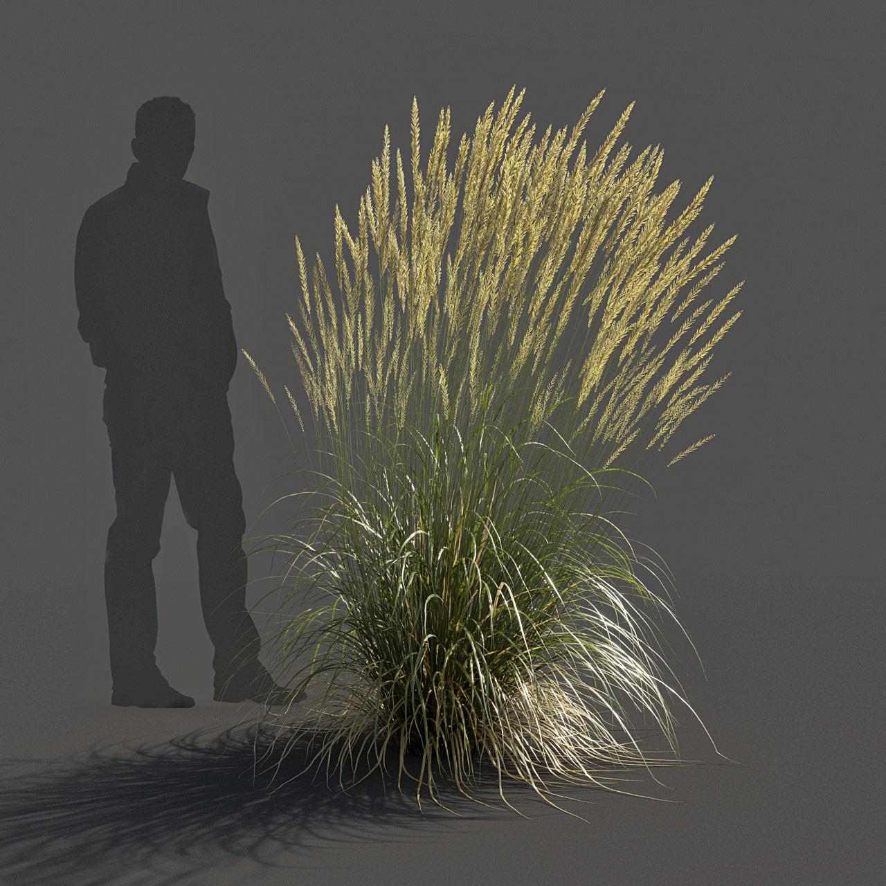 Feather Reed Grass 3D model high_v01 -  'Karl Foerster' - Calamagrostis acutiflora