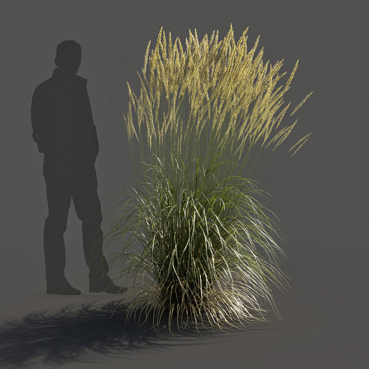 Feather Reed Grass 3D model high_v02 -  'Karl Foerster' - Calamagrostis acutiflora