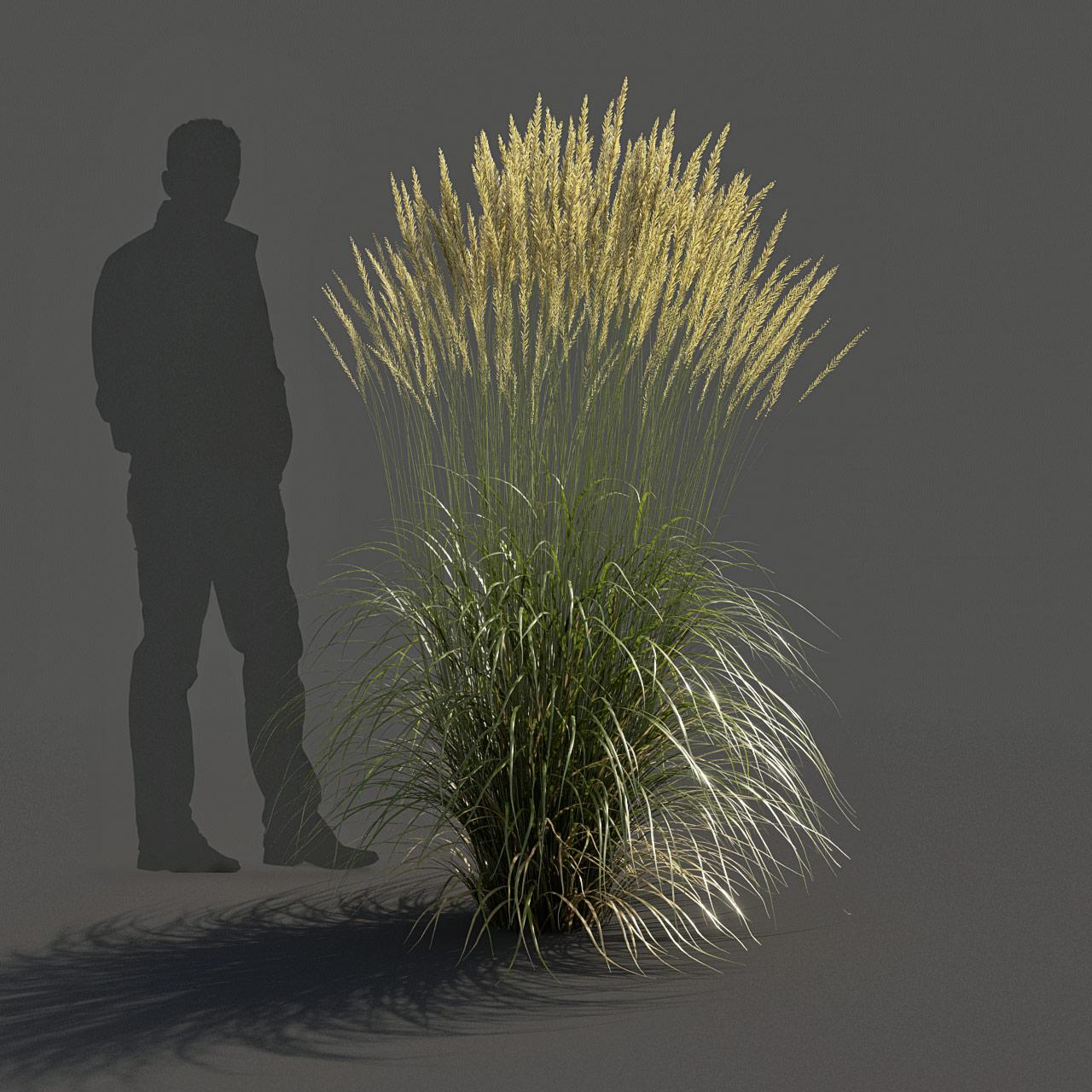 Feather Reed Grass 3D model high_v03 -  'Karl Foerster' - Calamagrostis acutiflora