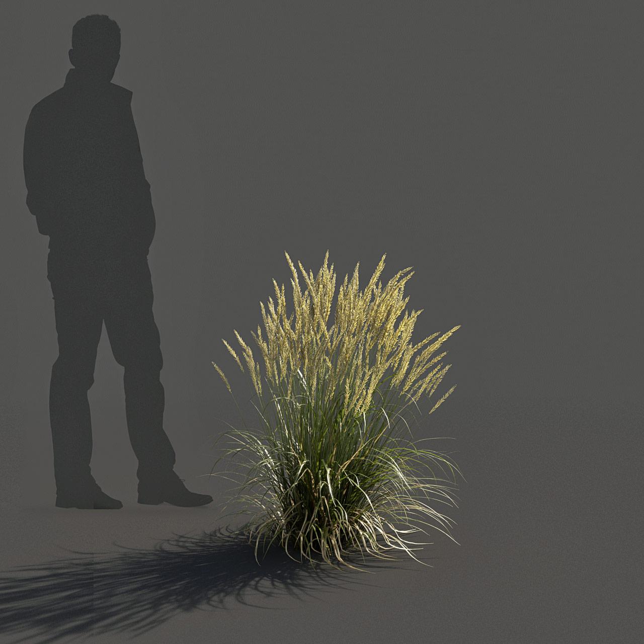 Feather Reed Grass 3D model low_v01 -  'Karl Foerster' - Calamagrostis acutiflora