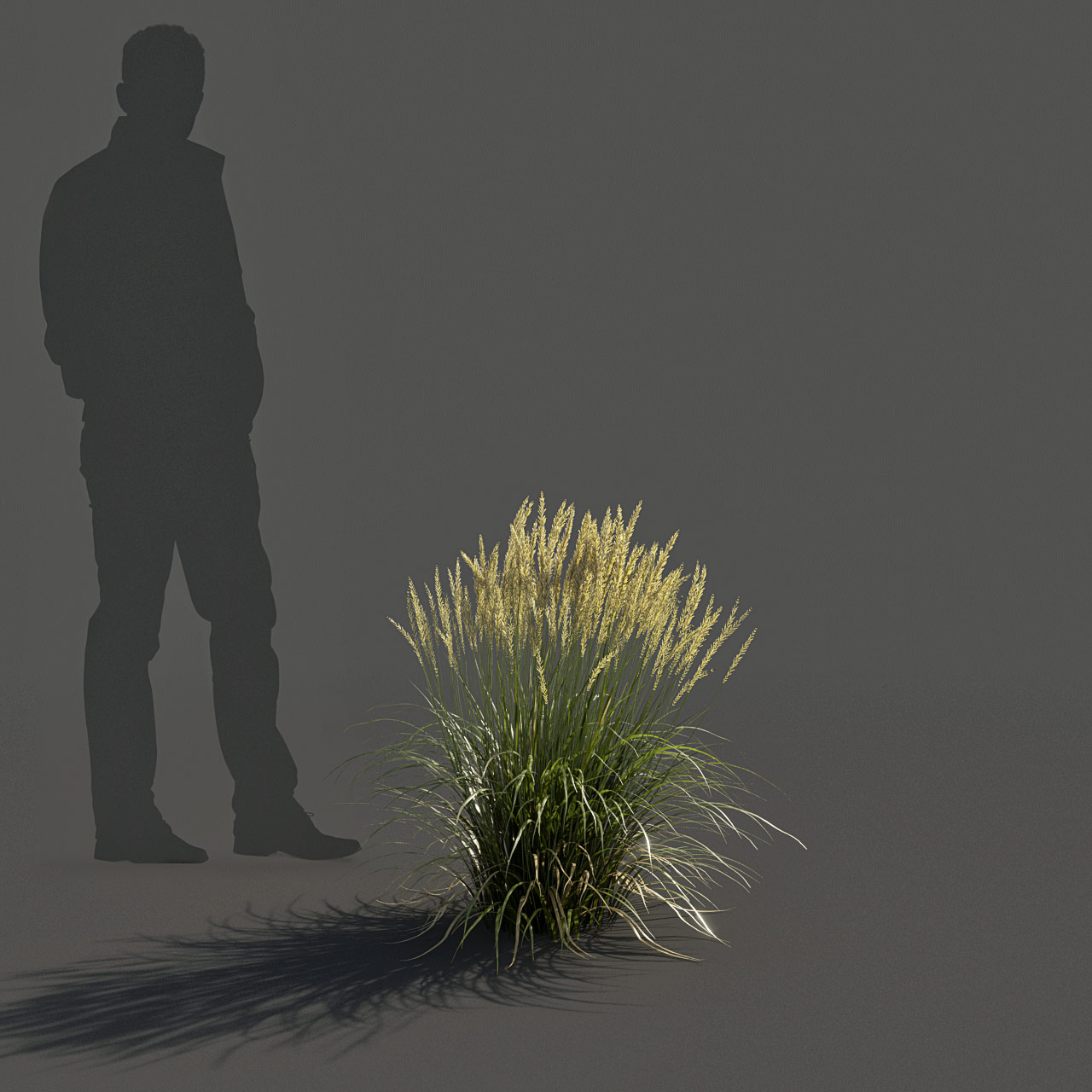 Feather Reed Grass 3D model low_v02 -  'Karl Foerster' - Calamagrostis acutiflora