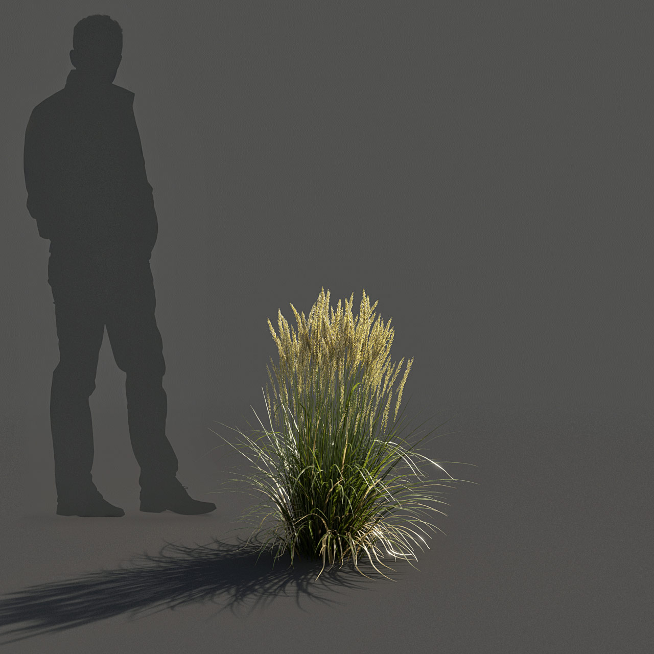 Feather Reed Grass 3D model low_v03 -  'Karl Foerster' - Calamagrostis acutiflora