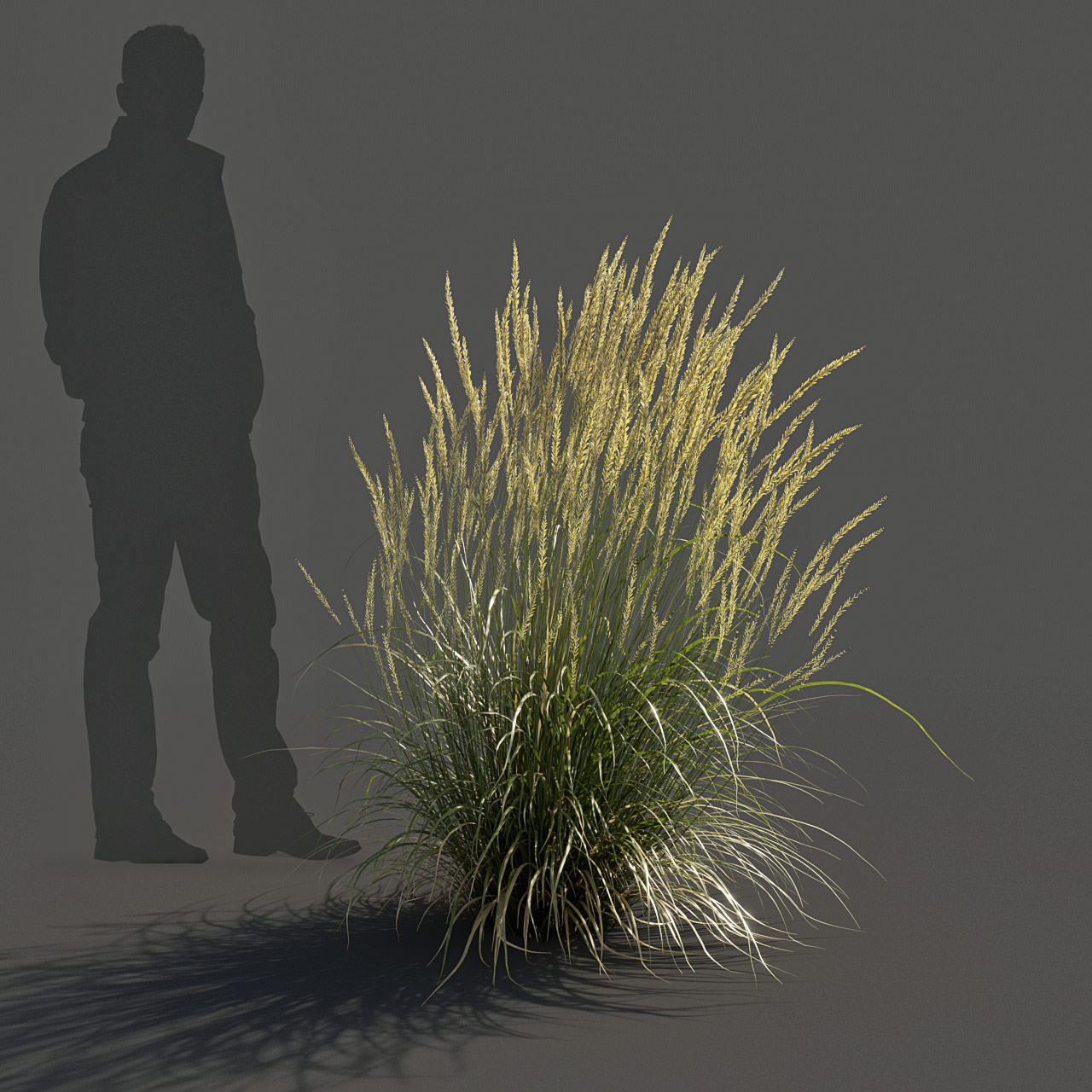 Feather Reed Grass 3D model medium_v01 -  'Karl Foerster' - Calamagrostis acutiflora