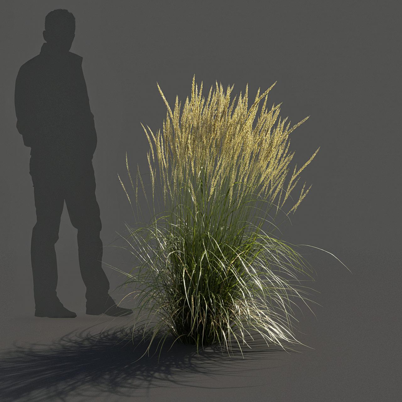 Feather Reed Grass 3D model medium_v02 -  'Karl Foerster' - Calamagrostis acutiflora