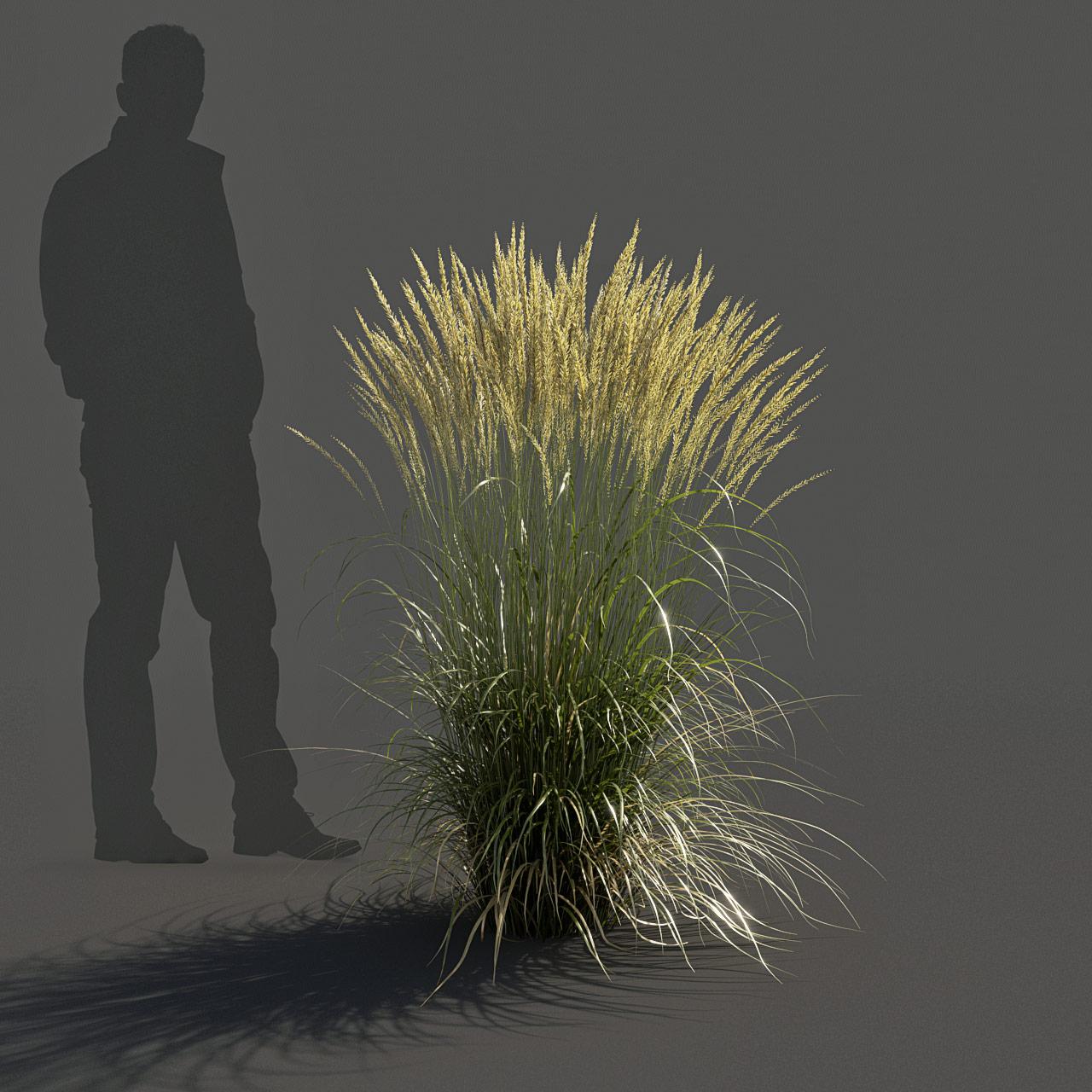 Feather Reed Grass 3D model medium_v03 -  'Karl Foerster' - Calamagrostis acutiflora