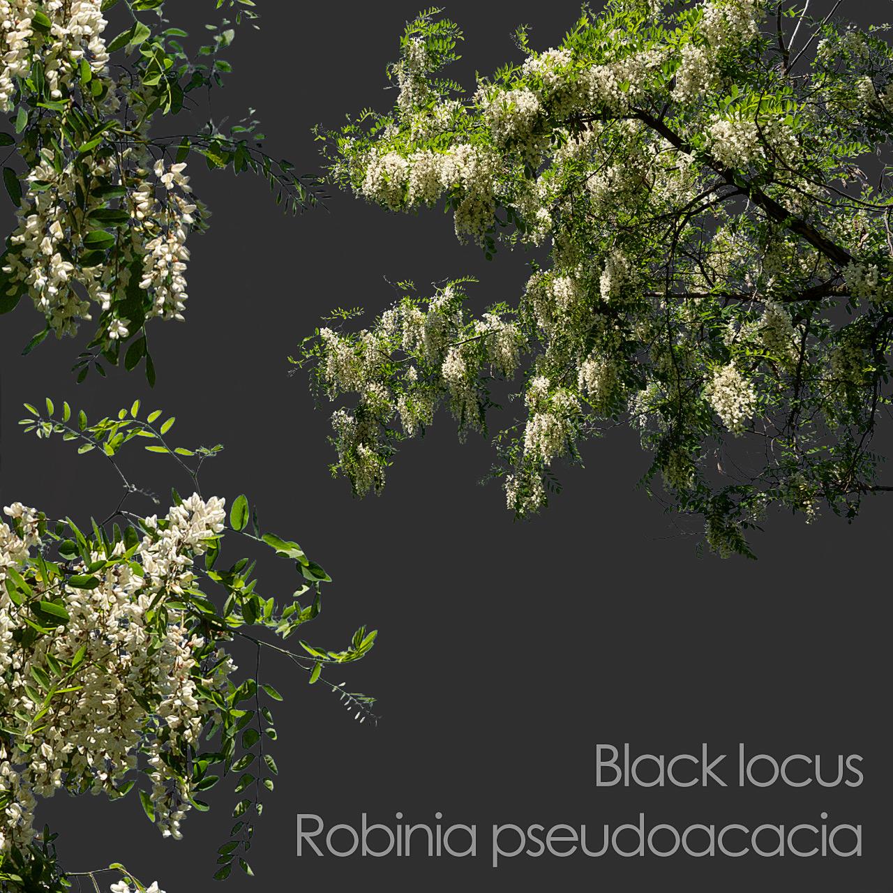 Black locust foreground tree branch cutout