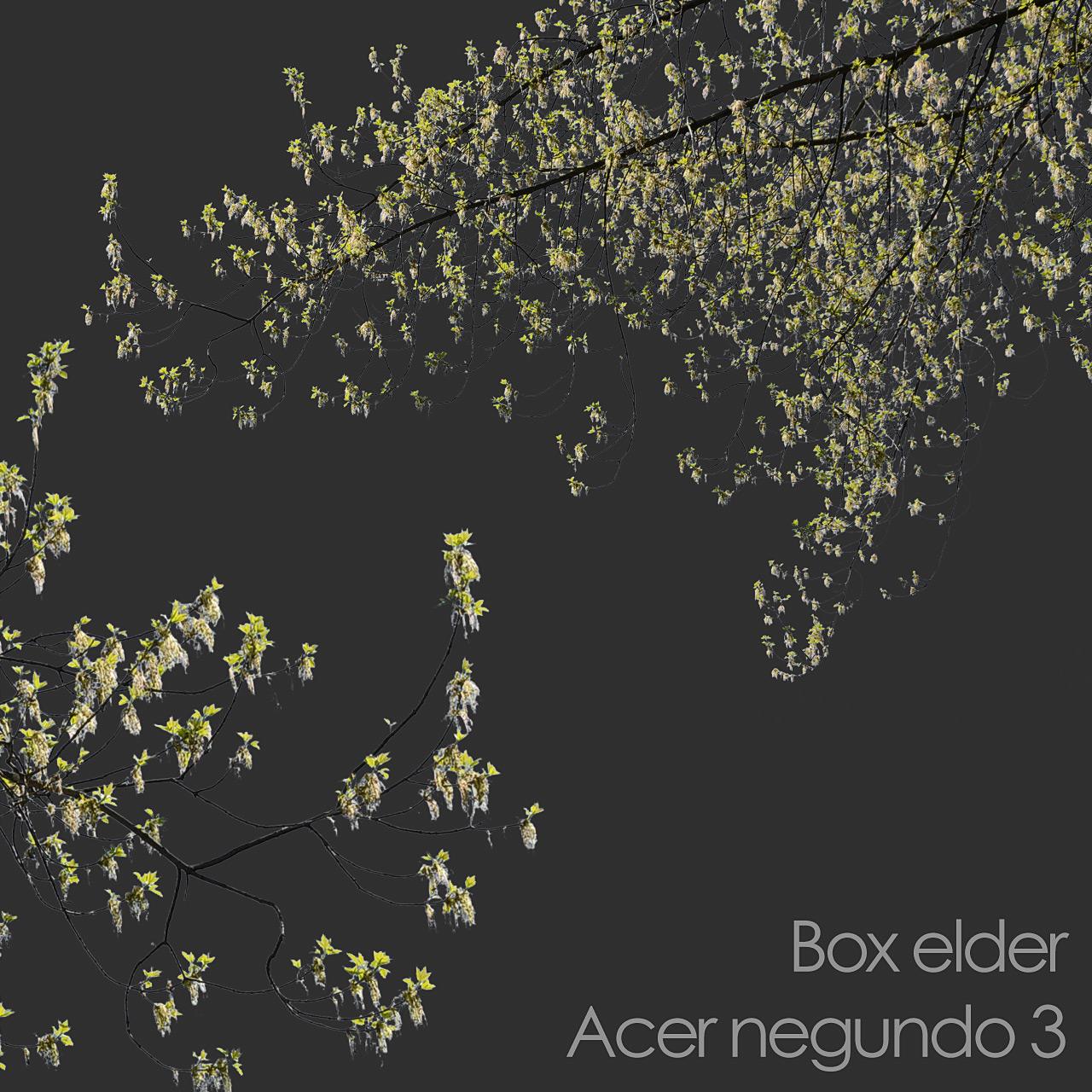 Box elder foreground tree branch cutout