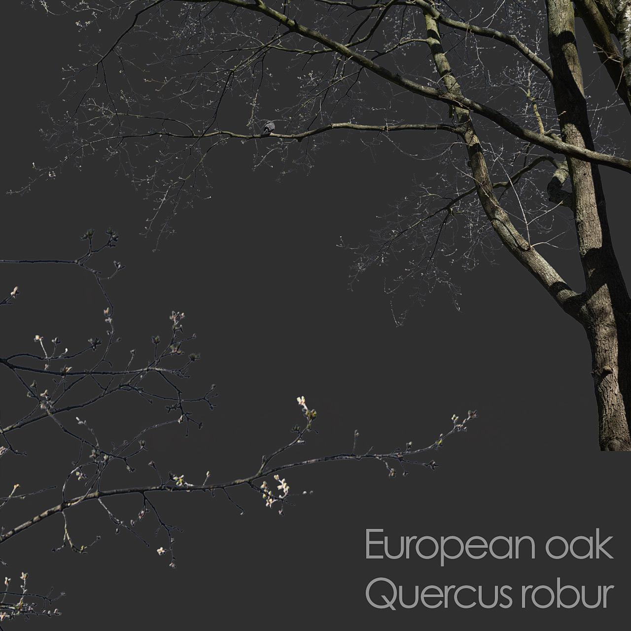 European Oak foreground tree branch cutout