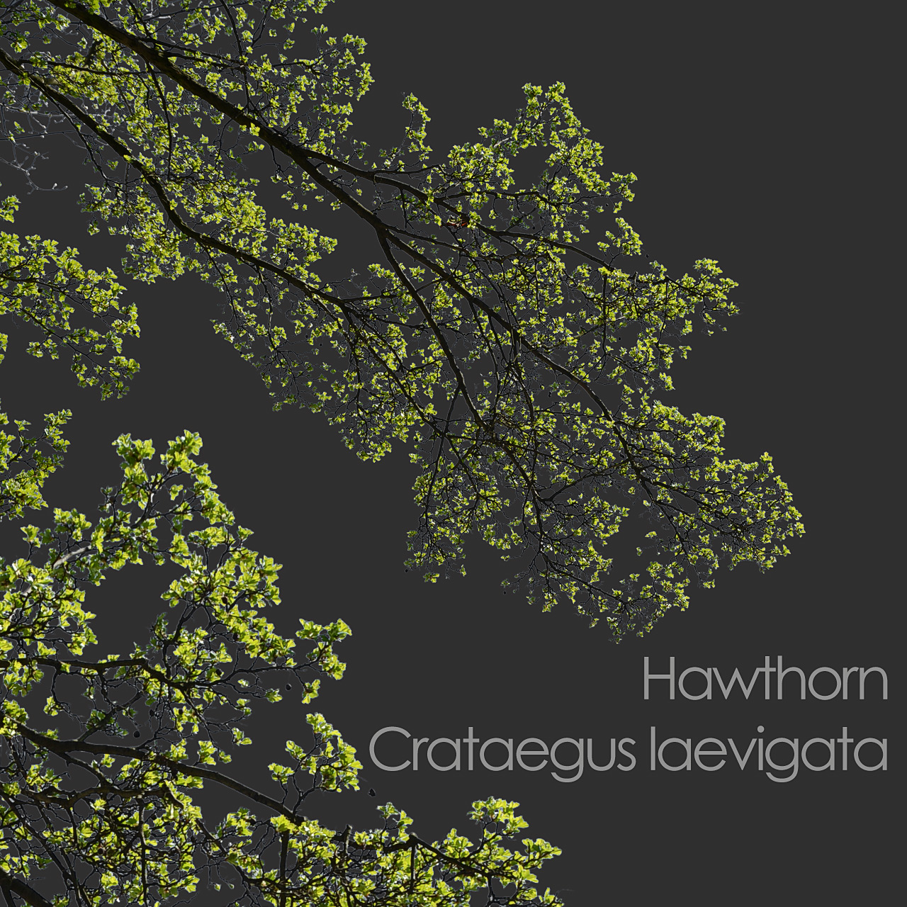 Hawthorn foreground spring tree branch cutout