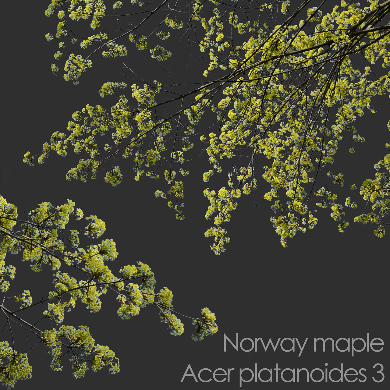 Norway maple foreground spring tree branch cutout