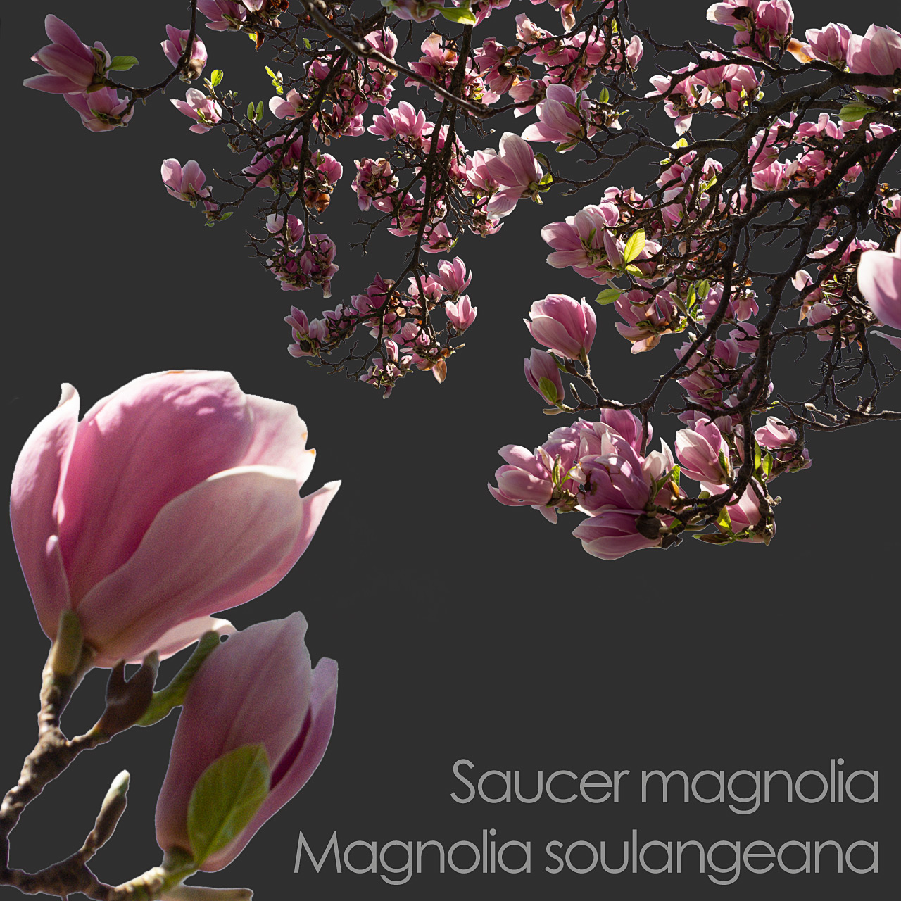 Saucer Magnolia foreground spring tree branch cutout