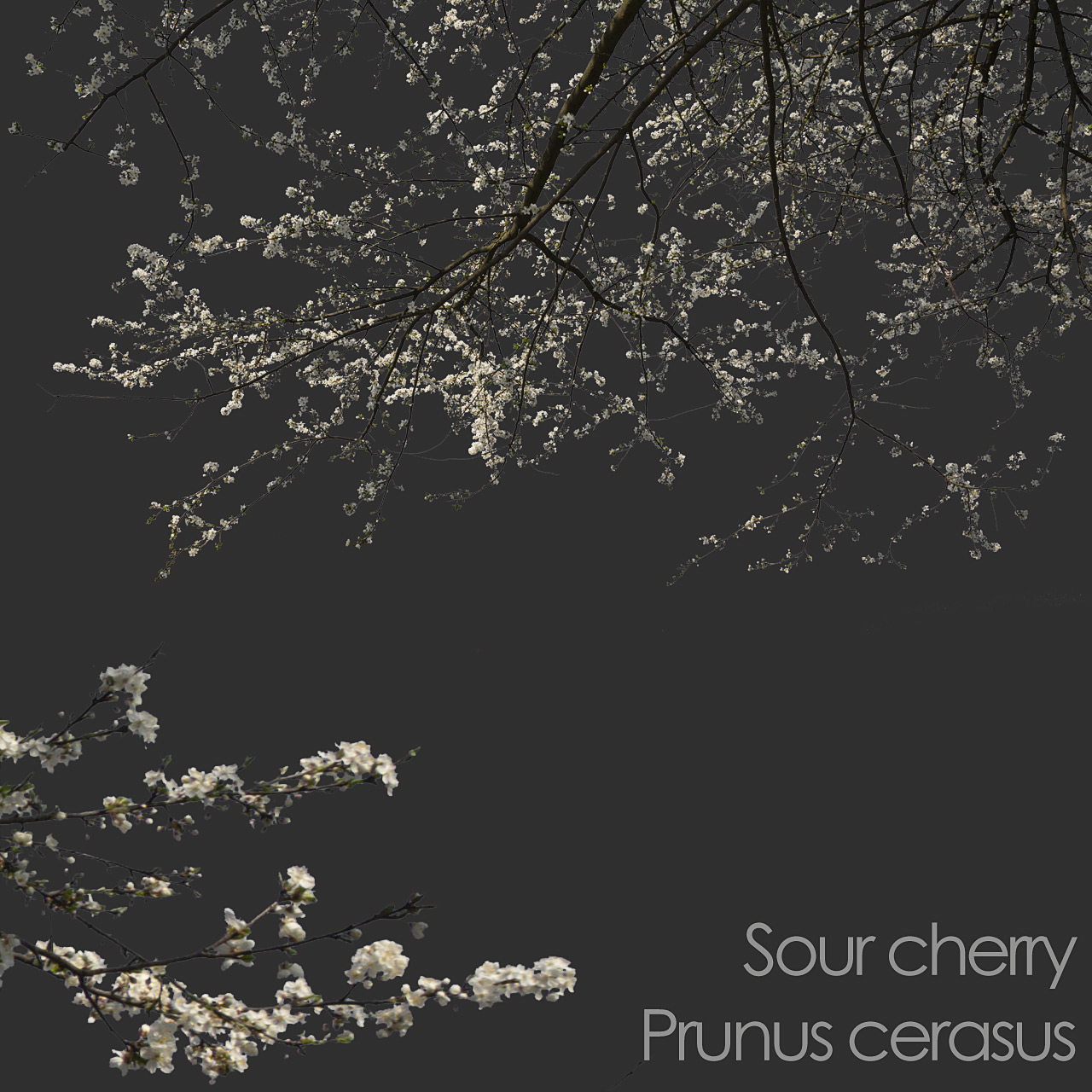 Sour Cherry foreground spring tree branch cutout
