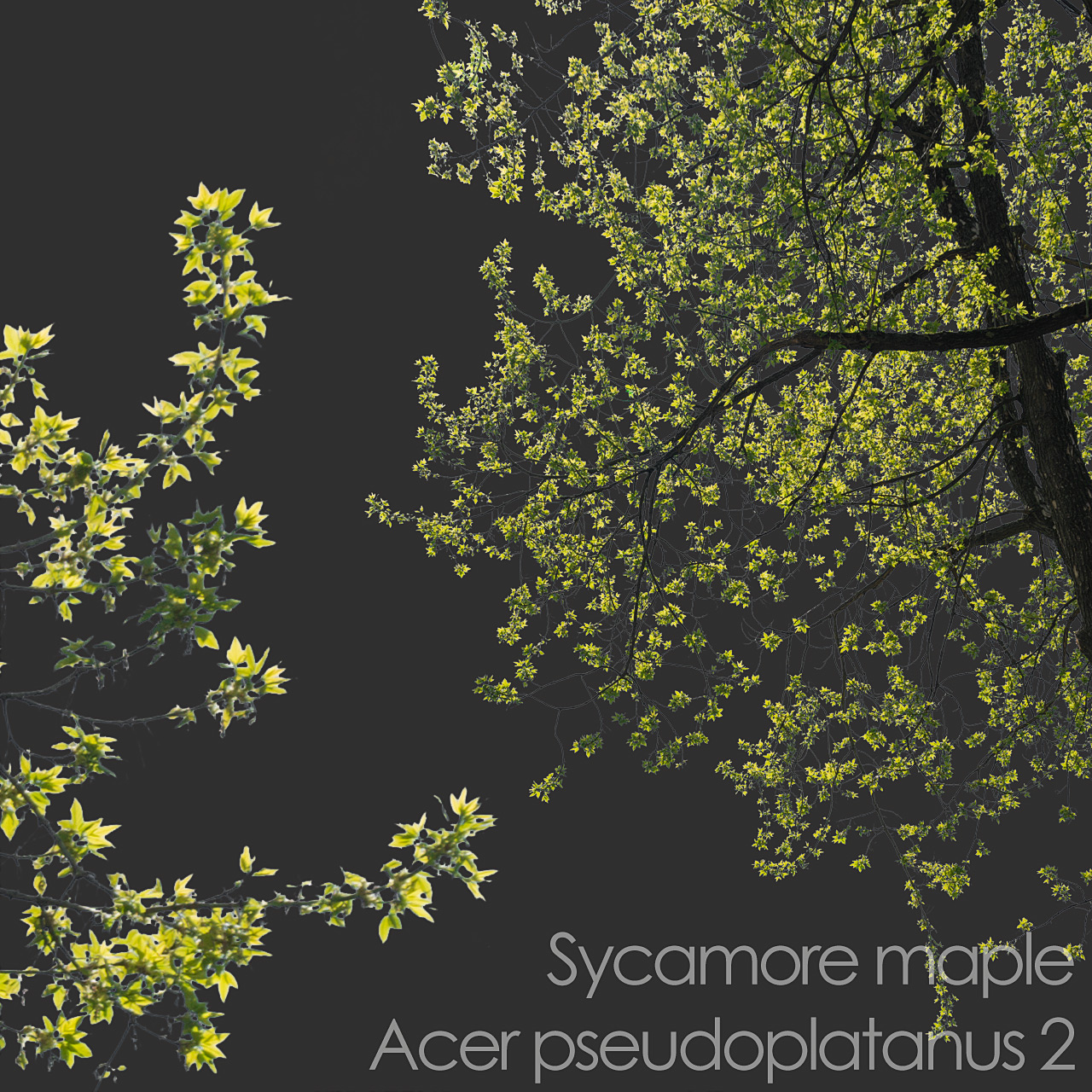 Sycamore maple foreground spring tree branch cutout