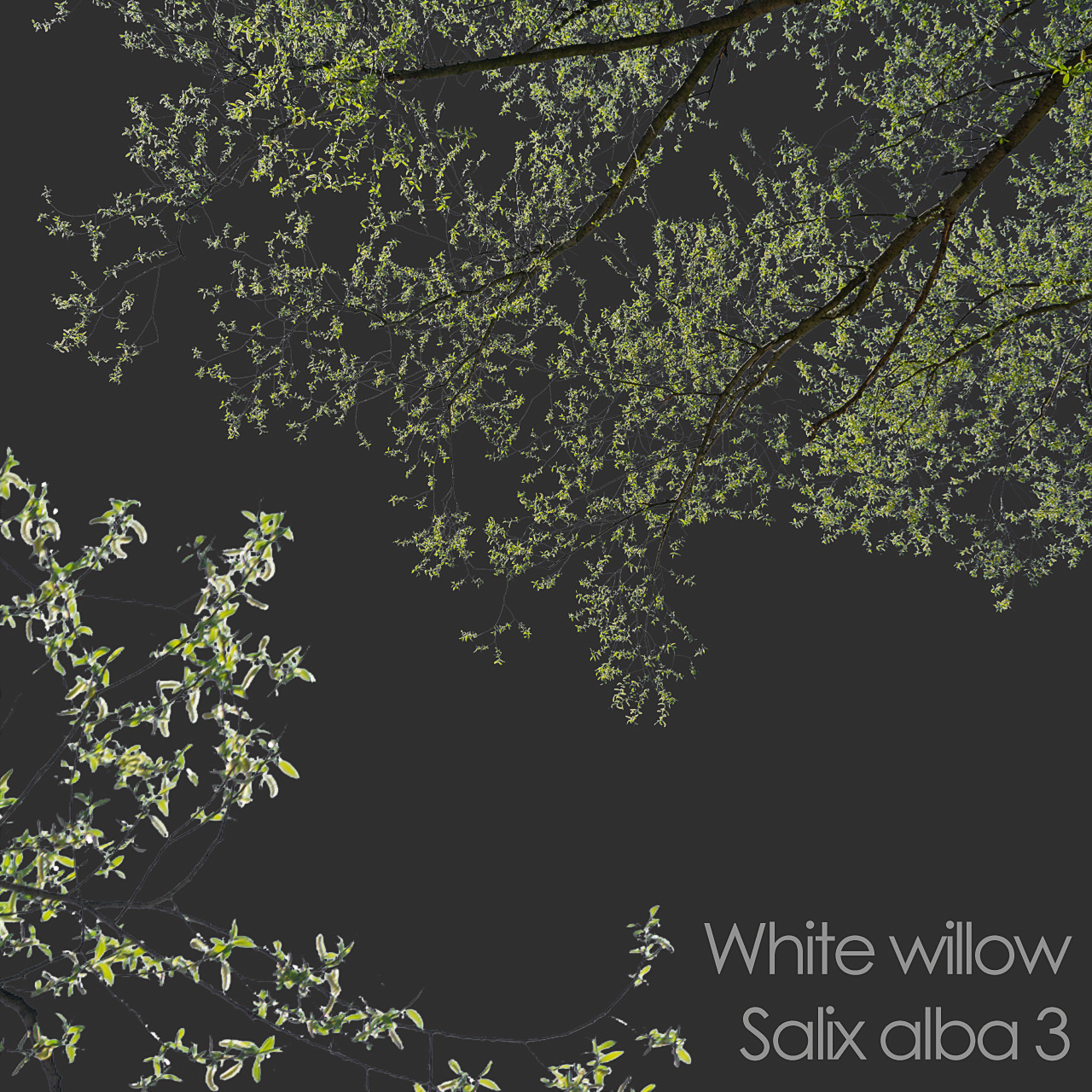 White Willow foreground spring tree branch cutout