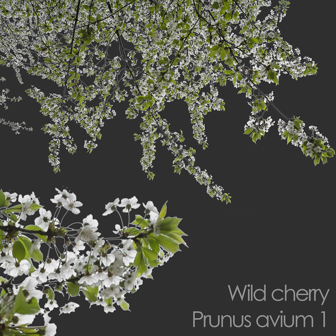 Wild Cherry foreground spring tree branch cutout