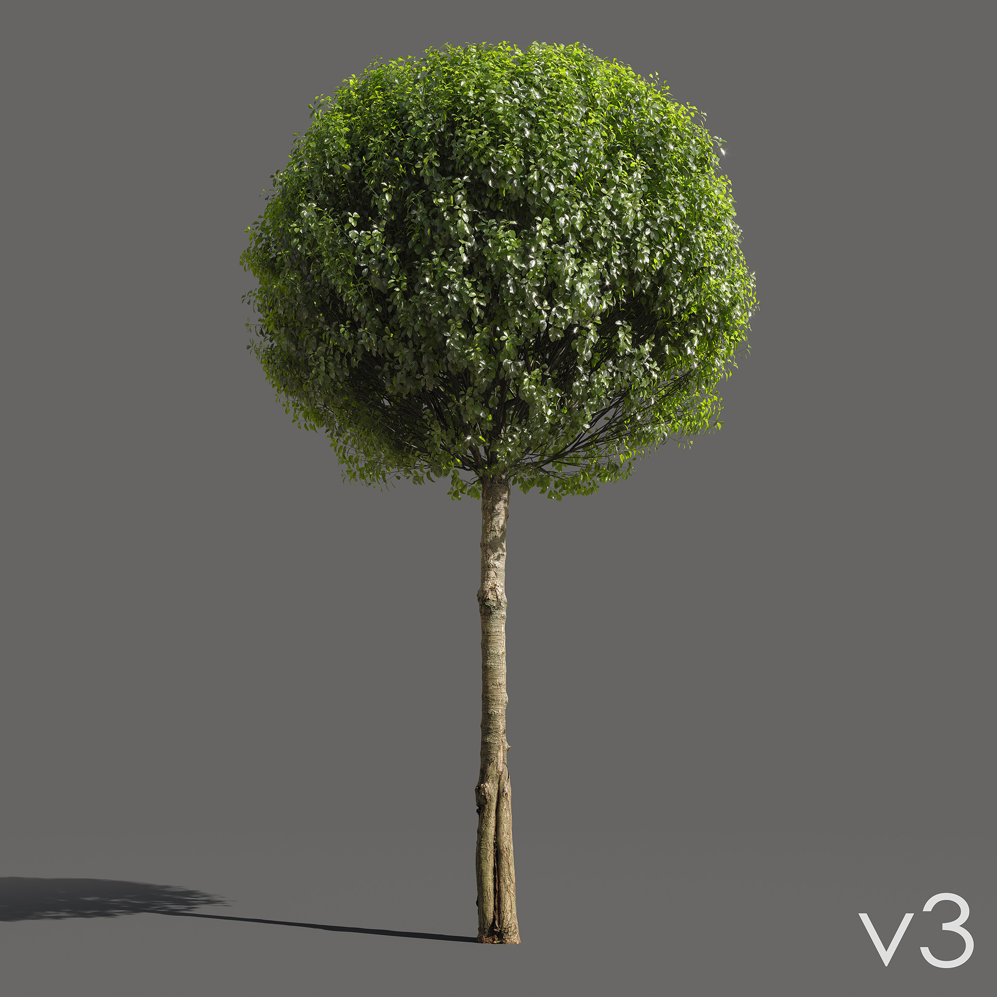 Globe Cherry Prunus eminens umbraculifera 3d models with scanned trunk bark