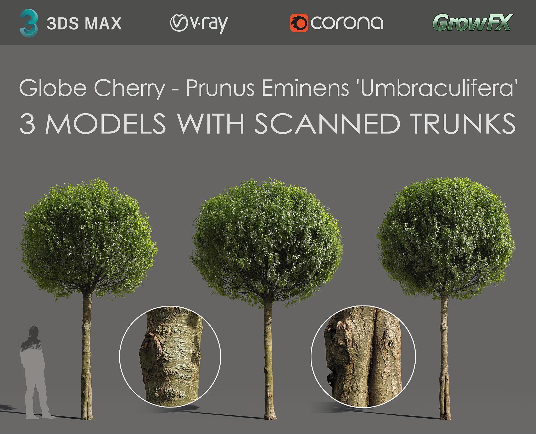 Globe Cherry Prunus eminens umbraculifera 3d models with scanned trunk bark